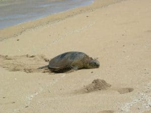 Turtle Picture at Ship Wreck Beach on Lanai